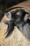 Capra di billy pigmea africana di belato Fotografie Stock Libere da Diritti