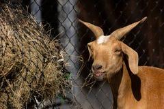 Capra di Brown in azienda agricola Comcept di agricoltura Fotografie Stock