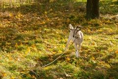 Capra di Brown sul villaggio di autunno Immagini Stock Libere da Diritti