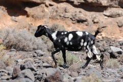 Capra di Fuerteventura Fotografia Stock