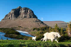 Capra di montagna Immagine Stock