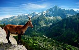 Capra di montagna Immagine Stock Libera da Diritti