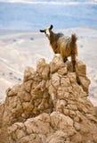 Capra di montagna fotografie stock libere da diritti