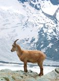 Capra di montagna Fotografie Stock