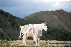Capra di montagna Fotografia Stock Libera da Diritti