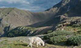Capra di montagna Immagini Stock