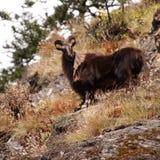 Capra di montagna in Himalaya Fotografia Stock