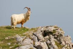 Capra di montagna/pecore sul bordo della scogliera fotografia stock libera da diritti