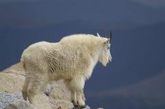 Capra di montagna rocciosa Fotografie Stock