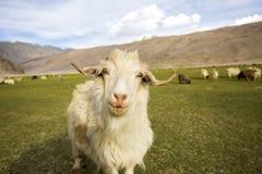 Capra di Pashmina che pasce - Chummatang - Ladakh India Fotografia Stock