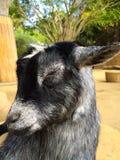 Capra di sonno allo zoo di coccole Immagine Stock