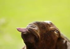 Capra divertente che colpisce lingua fuori isolata su fondo verde Fotografia Stock