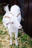 Capra domestica bianca Fotografia Stock Libera da Diritti