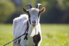 Capra domestica bianca e marrone con la barba bianca ripida lunga dei corni, dell'occhio di giallo e legata con la catena che gua Immagine Stock Libera da Diritti