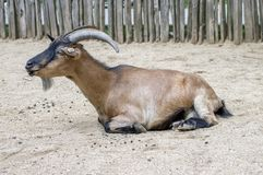 Capra domestica di hircus di aegagrus della capra Fotografia Stock Libera da Diritti