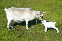 Capra e capra del bambino Fotografia Stock