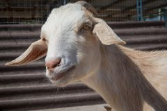 Capra eared floscia bianca ad un'azienda agricola di hobby fotografia stock