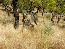 Capra ed agnello che stanno fra gli alberi asciutti del prato Immagine Stock