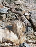 Capra falconeri. Markhor male (Capra falconeri) among the rocks Royalty Free Stock Photography