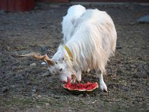 Capra falconeri heptneri Turkmenian Markhor. However, the wild goat Capra aegagrus has the largest share of domestic goat. The share of the goat`s goat is stock photo