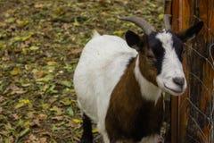 Capra felice di sorriso del corpo della museruola piena della capra Fotografia Stock