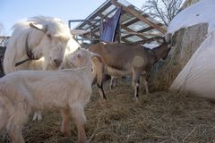 Capra Gregge delle capre Capre bianche Spirito della molla fotografia stock libera da diritti