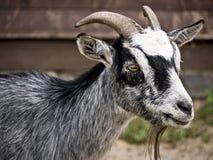 Capra-grigio fotografie stock