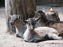 Capra hircus Stock Images