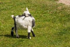 Capra hircus goat. Young capra hircus goat on grass Stock Photo