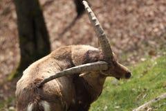 Capra ibex Stock Images