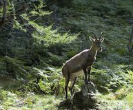 Capra Ibex Royalty Free Stock Images
