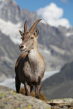 Capra ibex Royalty Free Stock Photography