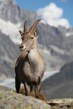 Capra ibex Royalty Free Stock Photography