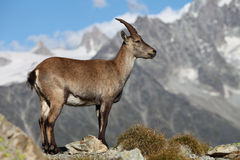 Capra ibex. Close view on a young Capra Ibex near the White Lake near Chamonix Royalty Free Stock Photo
