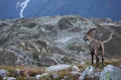 Capra ibex Stock Photo