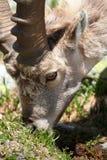 Capra ibex Royalty Free Stock Photos