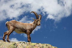 Capra ibex. Close view on two curious Capra Ibex near the White Lake near Chamonix Royalty Free Stock Photography