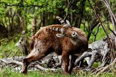 Capra ibex Stock Photos