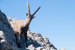 Capra ibex Fotografie Stock