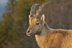 Capra ibex Royalty Free Stock Photo
