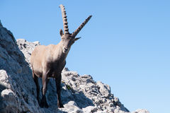 Capra ibex Stock Photos