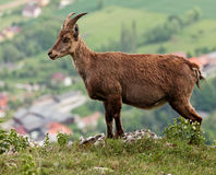 Capra ibex Royalty Free Stock Image