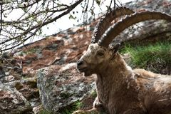 Capra Ibex - Italian Alps Royalty Free Stock Photos
