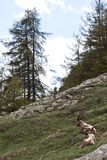 Capra Ibex - Italian Alps Royalty Free Stock Images