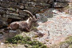 Capra Ibex - Italian Alps Royalty Free Stock Photography