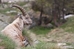 Free Capra Ibex - Italian Alps Royalty Free Stock Photo - 15999745