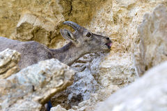 Capra ibex leaping mineral  salt Royalty Free Stock Photos