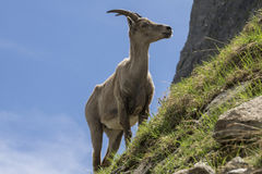 Capra ibex in the natural environment. French Alps. Royalty Free Stock Photo