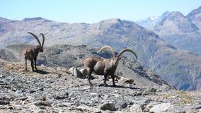 Capra ibex nelle alpi dello svizzero del te Immagine Stock