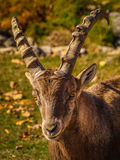 Capra ibex. In Park Omega, Quebec Royalty Free Stock Photography